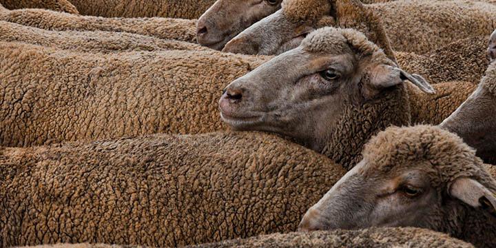 Pasterz. Owce. Najemnicy